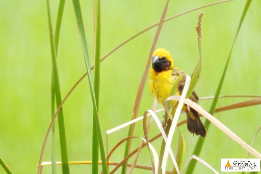 นกกระจาบทอง วัดป่าคลอง11