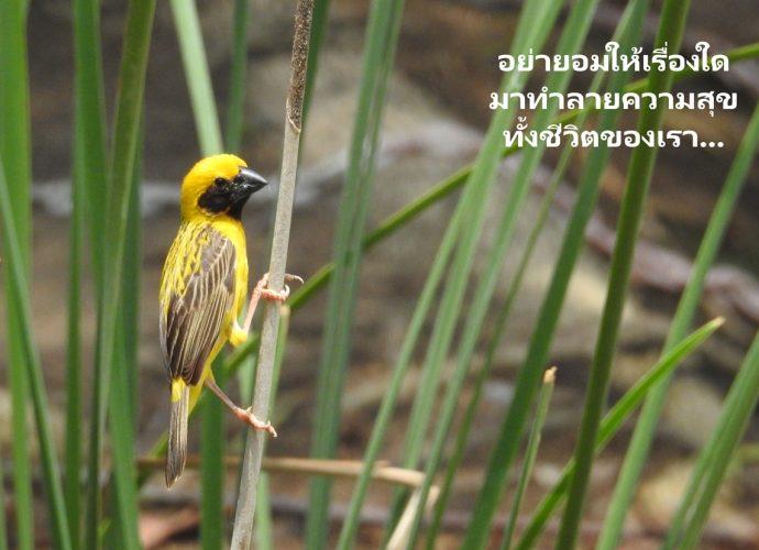 นกกระจาบทอง